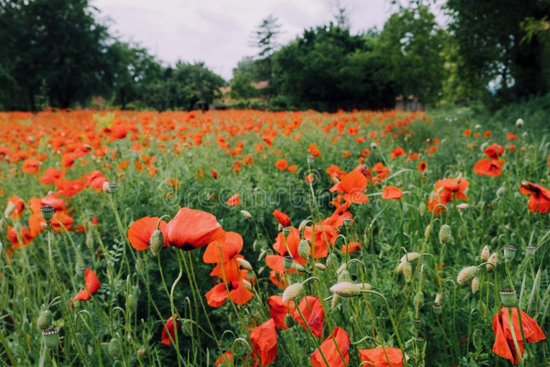 Beautiful summer field with red poppy flowers in full bloom. Idyllic rustic landscape with blooming wildflowers.  stock image