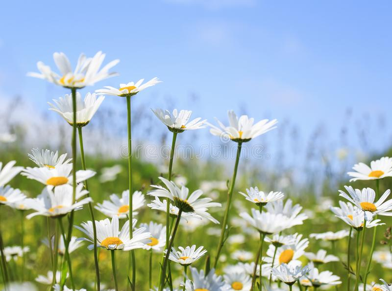 Beautiful summer field with white flowers daisies. Summer field with white flowers daisies stock image