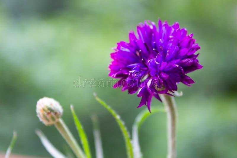 Beautiful summer flower blossom cornflower dark purple color mac royalty free stock photo