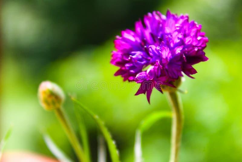 Beautiful summer flower blossom cornflower purple color macro stock photography