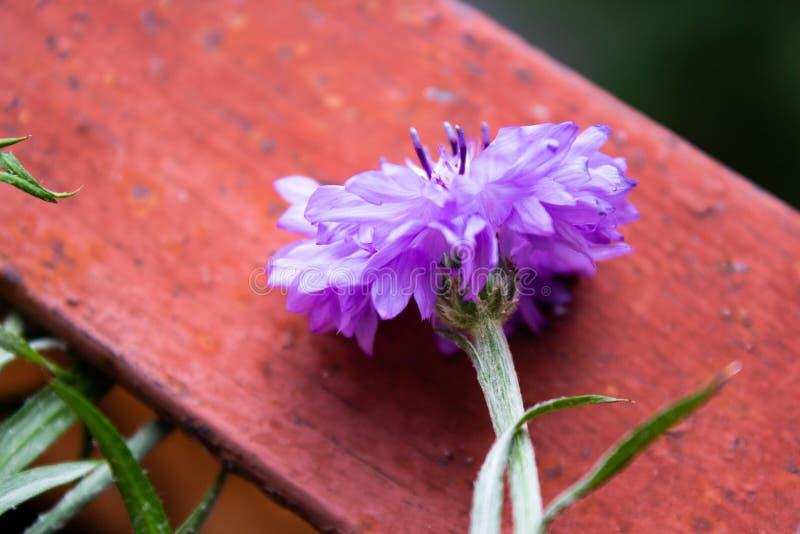 Beautiful summer flower blossom cornflower purple color macro royalty free stock photo