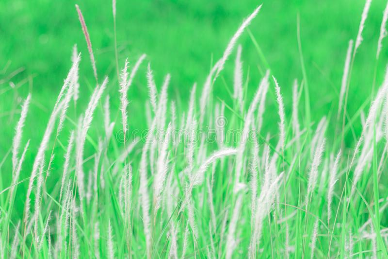 Beautiful summer with flower grass in sunshine day. Soft focus and vintage effect stock photography