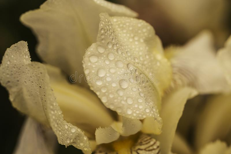 Beautiful summer flower. Iris. Perennial rhizomatous plant of the Iris family Iridaceae with dew drops. Sunny day.  Luxurious stock photo