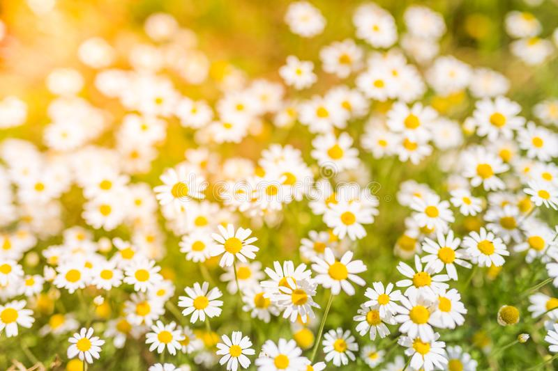 Summer daisy flowers under sunlight. Inspirational and relaxational flowers design. Beautiful summer flowers and meadow and calm nature background under sunlight royalty free stock photo