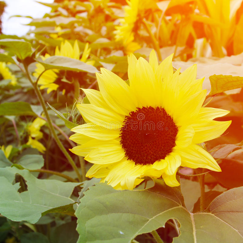 Beautiful summer flowers. Sunflowers. stock images