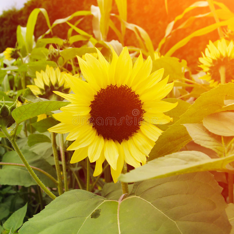 Beautiful summer flowers. Sunflowers. royalty free stock photo
