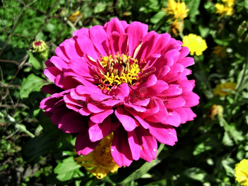 Beautiful summer landscape with bright pink zinnia. Flower and yellow flowers in green meadow in sunny day stock image