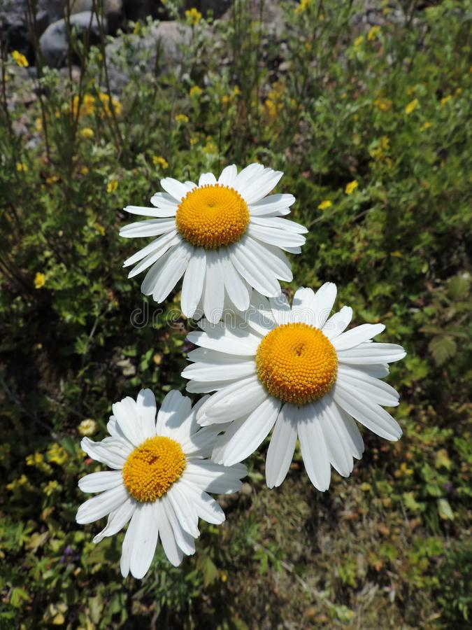 Enchanting white daisies on the coast of Baltic sea, Finland royalty free stock photos