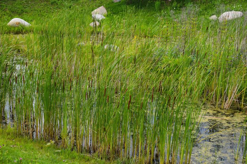 Beautiful summer landscape with canes and a reservoir for background. canes in swamp royalty free stock photography