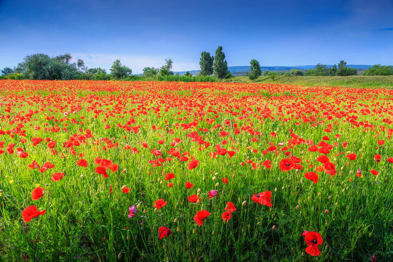 Beautiful summer landscape with red poppy filed royalty free stock photos
