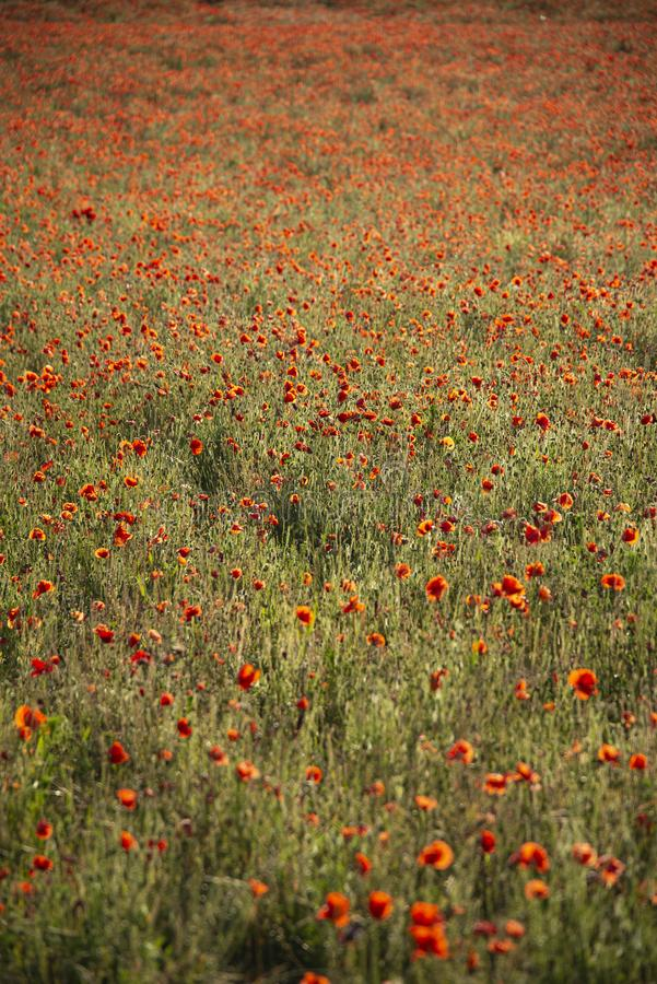 Beautiful Summer landscape of vibrant poppy field in English countryside during late evening sunset stock photography