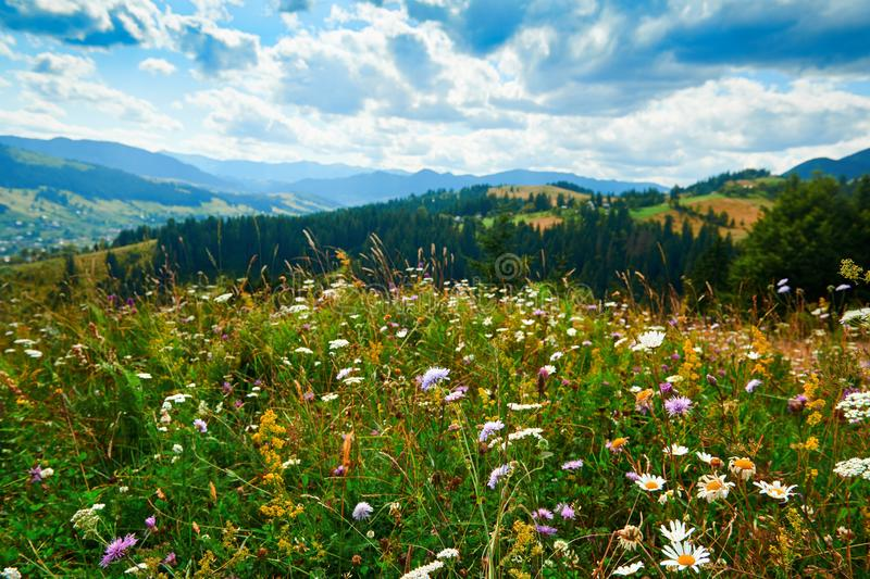 Beautiful summer landscape - wildflowers closeup on hills at bright sunny day. Meadow or grassland. Carpathian mountains. Ukraine royalty free stock image