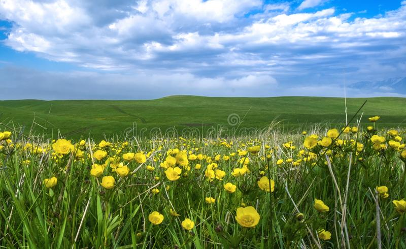 Beautiful summer landscape, yellow flower field on the hills stock photo