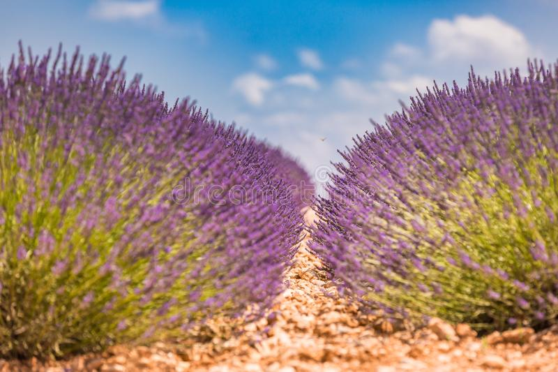 Beautiful summer nature. Lavender field summer sunset landscape near Valensole. Provence, France stock photo