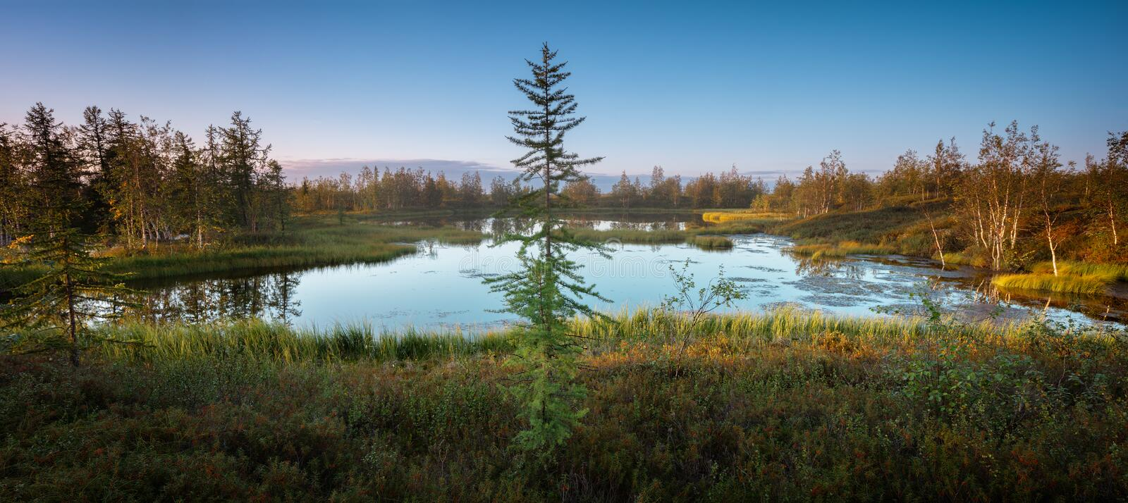 Beautiful summer northern Siberian wild landscape, a lonely spruce larch by a lake or swamp, panoramic view stock photos