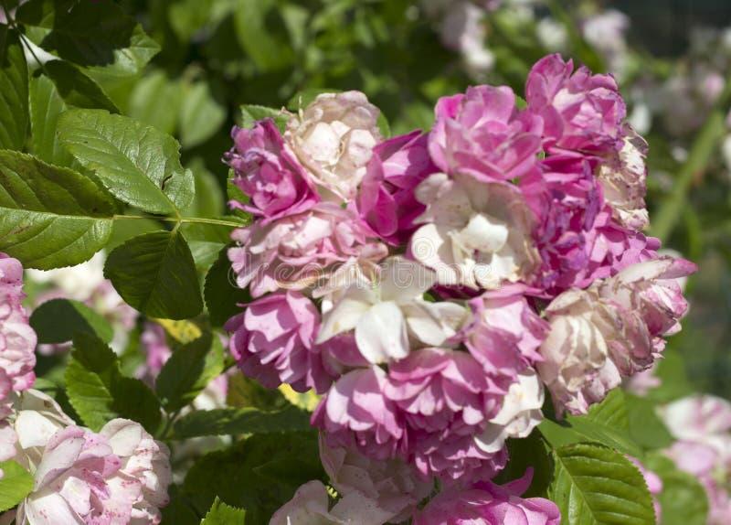 Beautiful summer pink roses stock photos