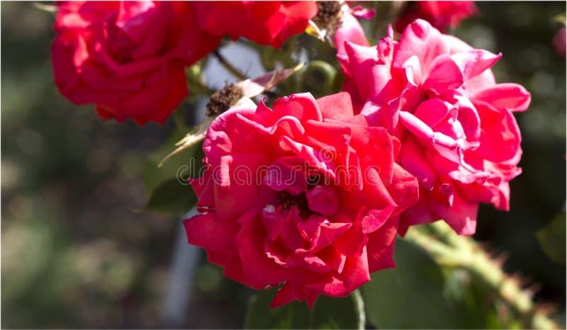 Beautiful summer pink roses stock photo