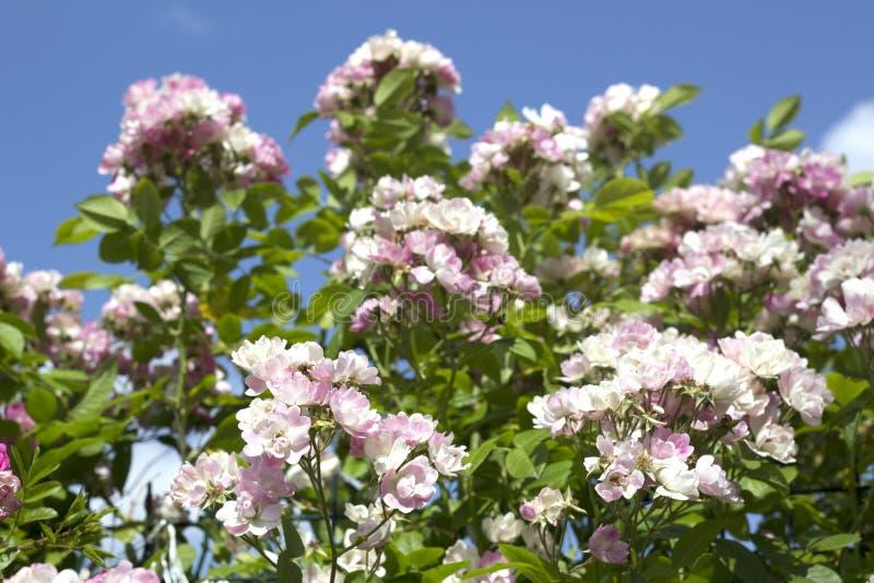 Beautiful summer pink roses royalty free stock photo
