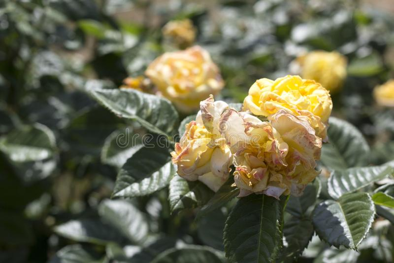Beautiful summer roses royalty free stock images