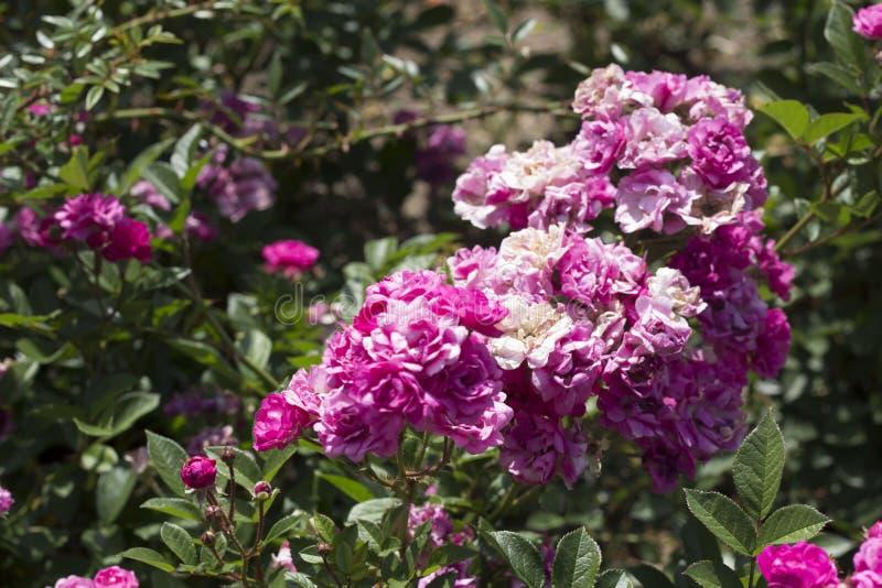 Beautiful summer roses royalty free stock image