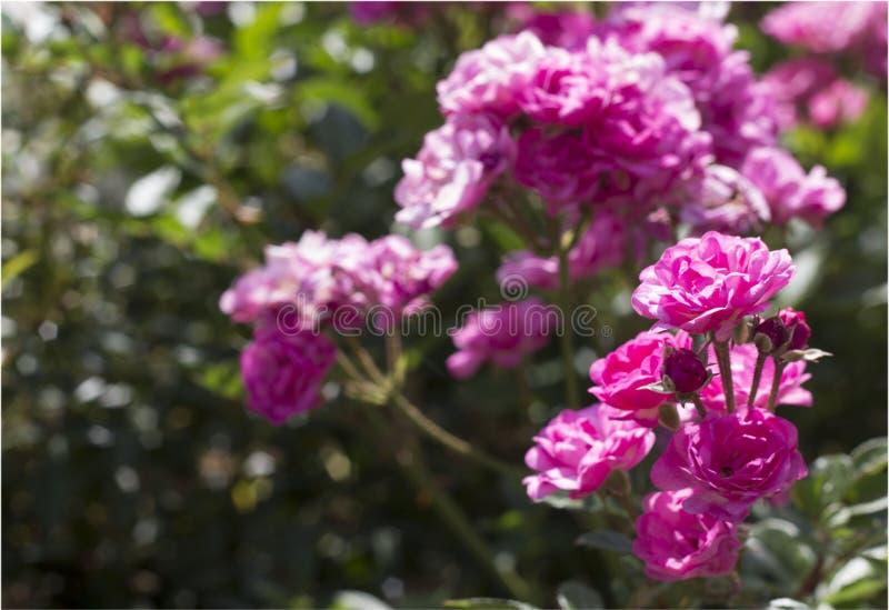 Beautiful summer roses stock photo