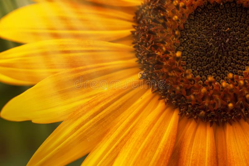 Beautiful summer sunflowers, natural blurred background, selective focus, shallow depth of field royalty free stock photography