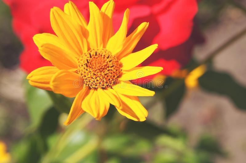 Beautiful summer sunny yellow flower royalty free stock images