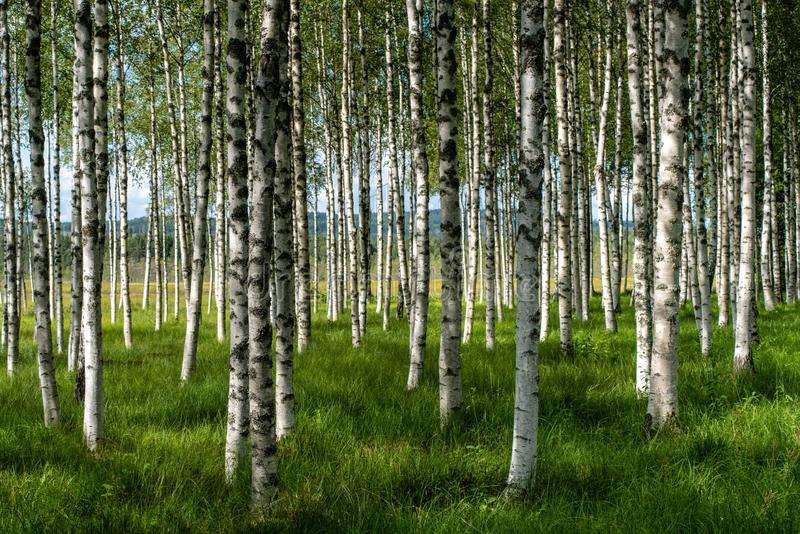 Beautiful summer view of a grove of birch trees with green grass stock image