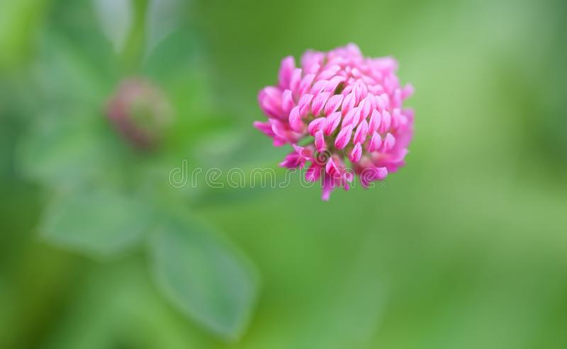 Beautiful summertime nature scene with violet clover flower. Macro view petal, selective focus photo.  royalty free stock photography