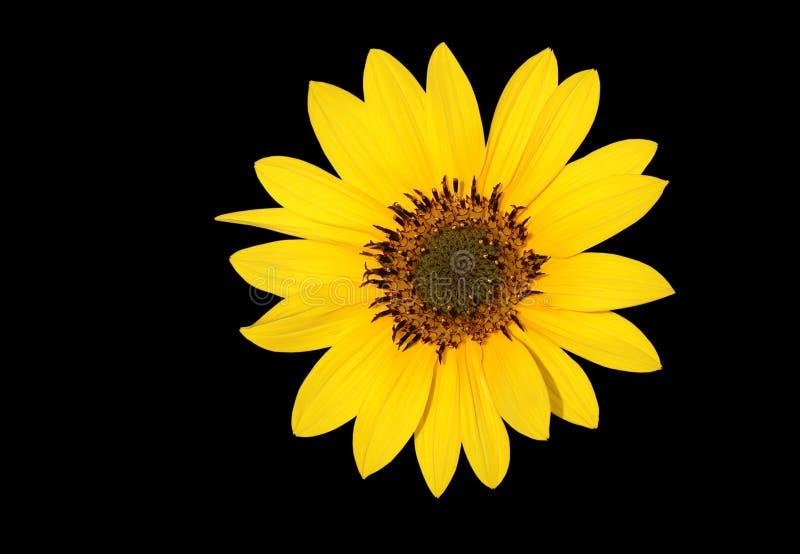 A beautiful Sun flower stock photo