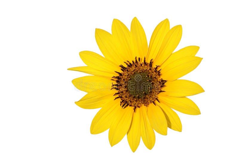 A beautiful Sun flower stock image
