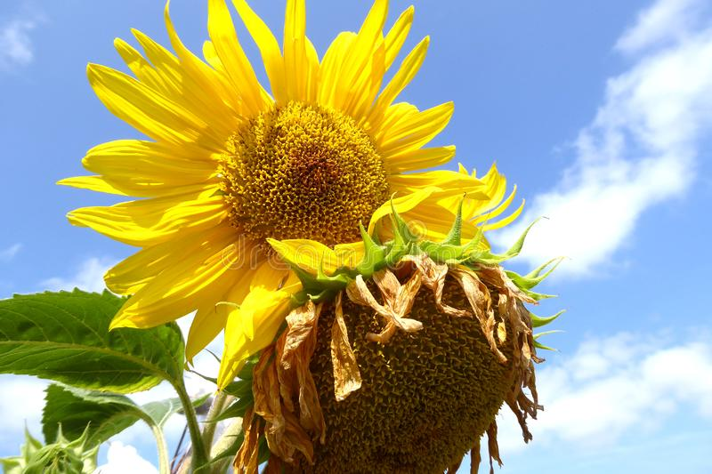 Beautiful sun flower with blue sky. A very beautiful fresh and dry sun flower with blue sky and white clouds with sunlight in summer season royalty free stock images