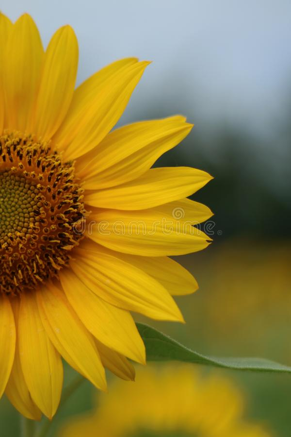 Free Beautiful Sun Flower In The Morning Royalty Free Stock Image - 110896226