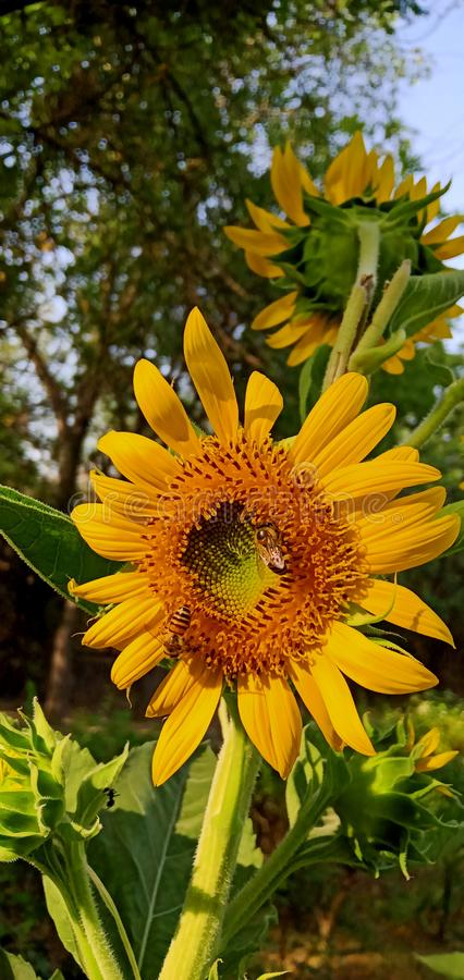 Beautiful sun flower at the morning stock images