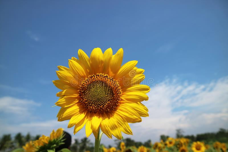 Beautiful Sun Flower in the Morning stock photo