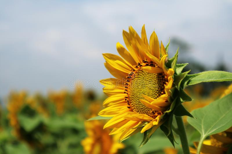 Beautiful sun flower in the morning stock image