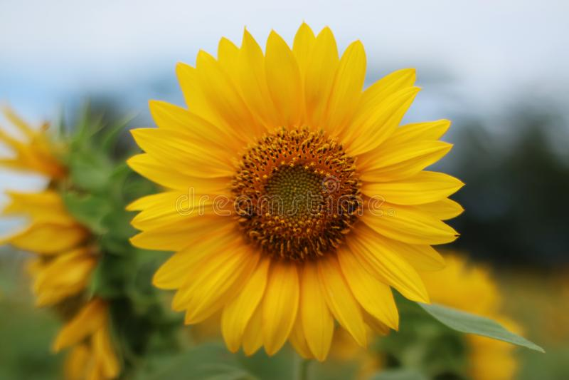 Beautiful sun flower in the morning stock photo