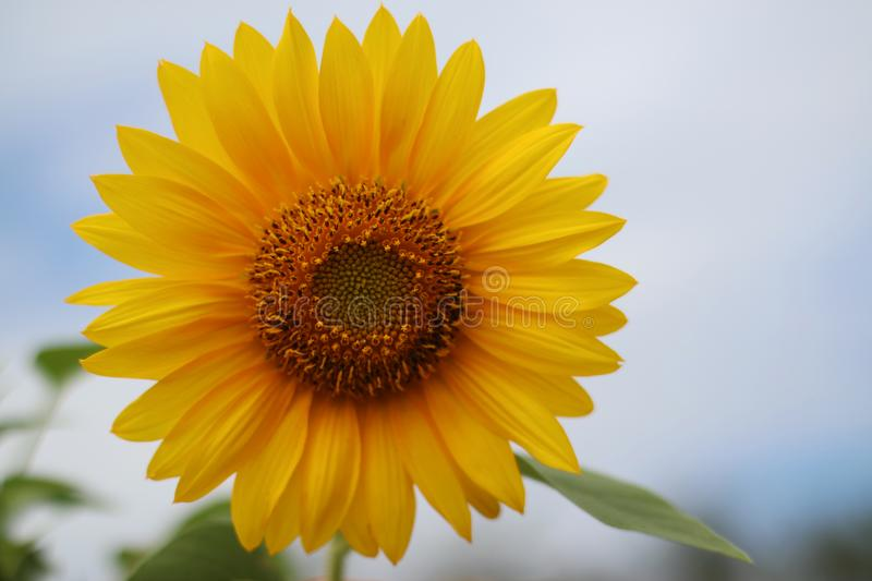 Beautiful sun flower in the morning royalty free stock images
