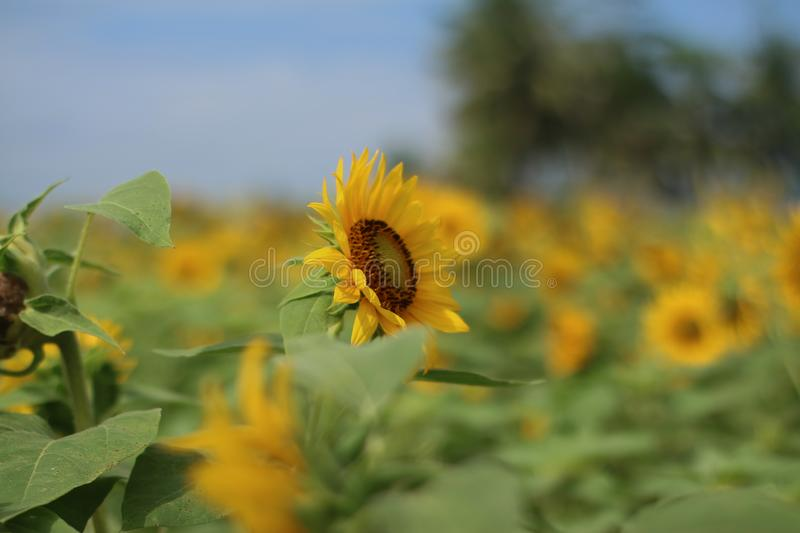 Beautiful sun flower in the morning royalty free stock image
