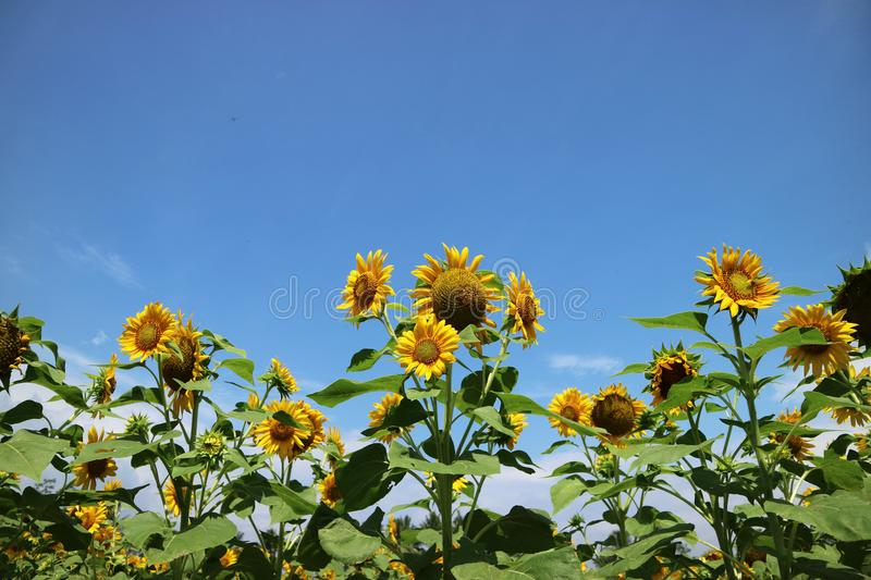 Beautiful sun flower in the morning stock images