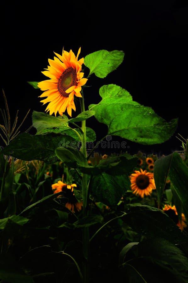 Free Beautiful Sunflower Royalty Free Stock Photo - 10440805