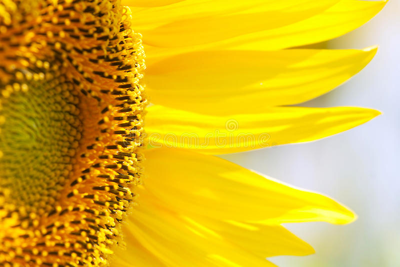 Download Beautiful sunflower stock photo. Image of meadow, petals - 23266620