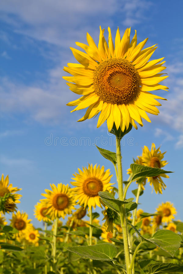 Beautiful sunflower. With cloud and blue sky stock photo