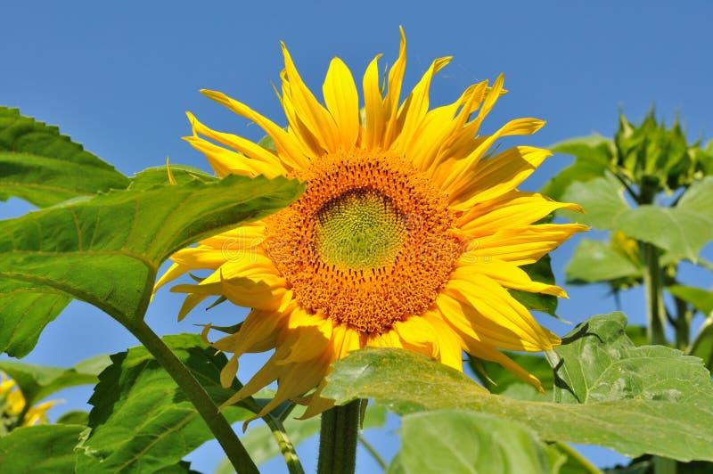 Beautiful Sunflower Stock Image