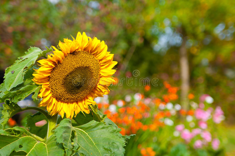 Download Beautiful Sunflower Royalty Free Stock Photo - Image: 28976955