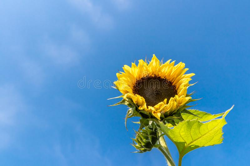 Beautiful sunflower with black seeds in the field. Blue sky and hot sunny day in summer. Space for Text stock images