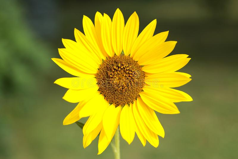 Beautiful sunflower from detail. Isolated. Bokeh background. Wallpaper royalty free stock photography
