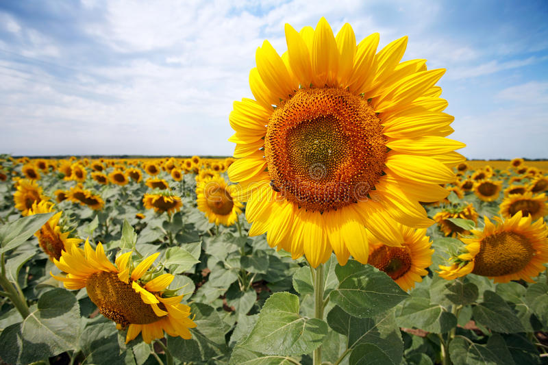 Beautiful sunflower field royalty free stock photography