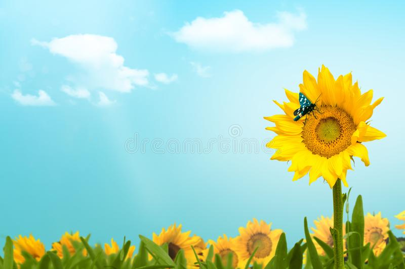 Sunflower field with butterfly and clouds copy space stock photo