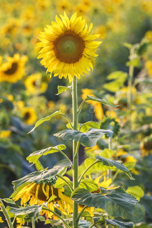 Beautiful sunflower in the field in Thailand. Beautiful sunflower in the field in Sakonnakhon,Thailand royalty free stock photo
